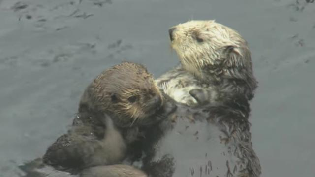 California's beloved sea otters in mysterious population decline