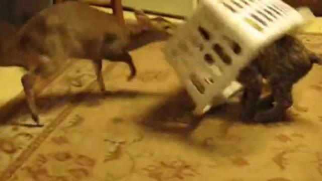 Fawn Beats Feline In Adorable Laundry Basket Cage Match
