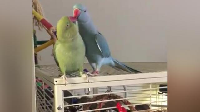 These Parakeets Call Each Other By Name – But It's Their New