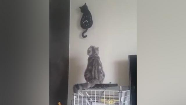 Adorable video shows cat waving its tail in time with feline shaped clock