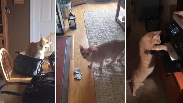 Check Out The Funniest Videos Of Cats Stealing Things