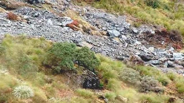 Amazing tahr stampede on New Zealand hill_Large