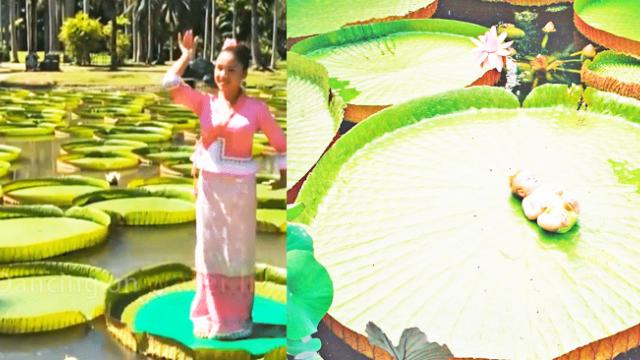 The girl dances on a huge water lily leaf that could measure up to 3 meters in diameter and support
