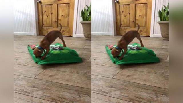 Never give up Tiny Chihuahua attacks bag of food, 15 times its