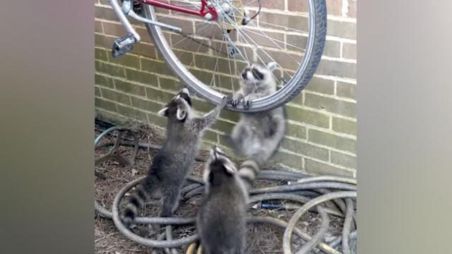 Bicycle wheel brings out raccoon rivalry