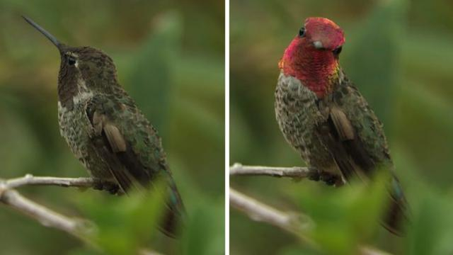 Tiny hummingbird in America swiftly changes into 20 different colors in mere seconds
