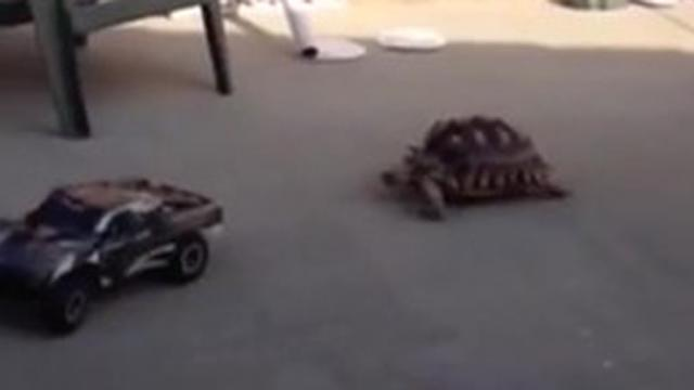 Turtle Versus Toy Truck Who To Bet Your Money On_Large