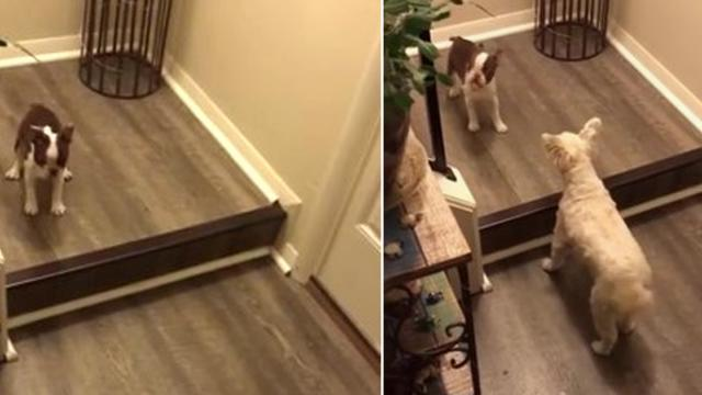 Dog teaches puppy how to go down stairs and literally demonstrates step by step over and over again.
