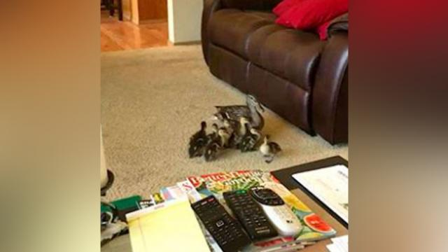 Duck Family Explores Lakeside Home In Washington State -