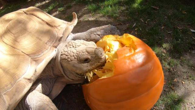 A Determined African Spurred Tortoise Cracks Open a Giant Pumpkin to Enjoy the Sweet Fruit Inside