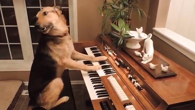 Unique dog that can play the piano in the world_ There are also many super intelligent dogs