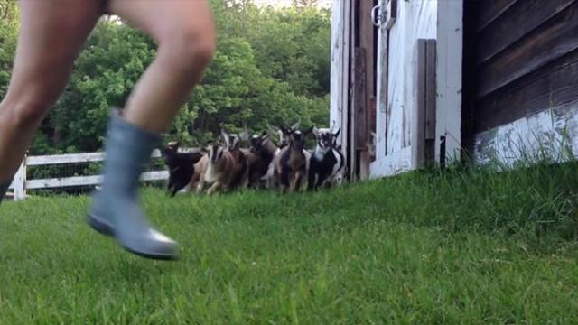 Nightly Goat Jog! Just keep running, running, running!