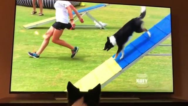 Border Collie Excitedly Watches Herself Win Agility Competition