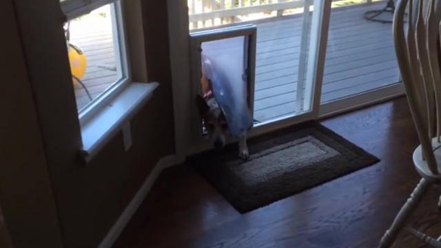 Funny Puppy Is Terrified To Crawl Through Doggy Door