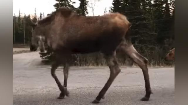 Adorable Moose Family Cause an Alaskan Traffic Jam