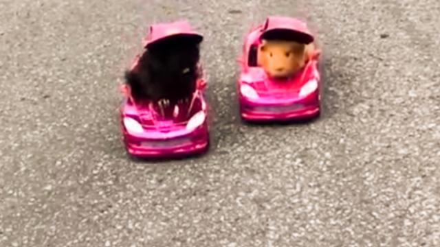 Competitive Guinea Pigs Go Neck-and-Neck in Car Race