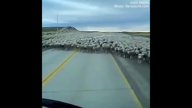 Sheep As Far As The Eye Can See Block The Road
