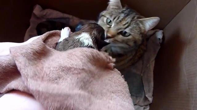 Mama Cats Reaction to Newborn Puppy