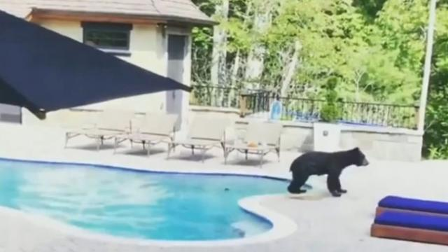 Bear takes a swim in North Carolina woman s pool