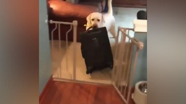Lab Steals Owner's Suitcase In Adorable Attempt To Keep His Human From Leaving.