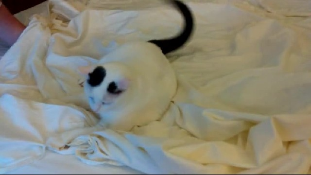 Cat defiantly refuses to give up bed sheets