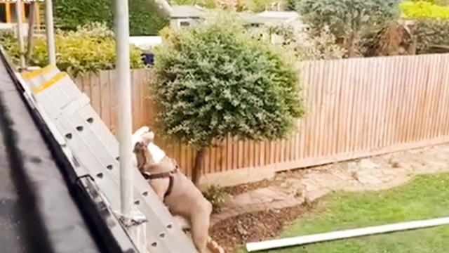 Curious British Bulldog pup climbs ladder to help roofer on the job