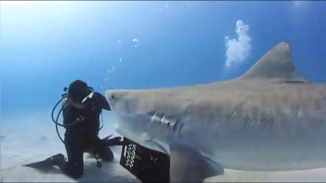 Diver gently touches tiger shark—then, he gets the animal