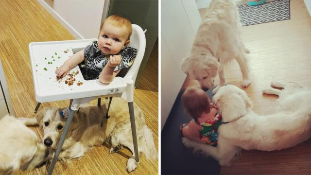 Golden retriever & our toddler_ partners in crime