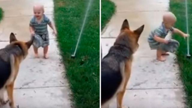 German Shepherd Terrified Of New Sprinkler Until Toddler Helps Him Overcome Fear In Hilarious Way