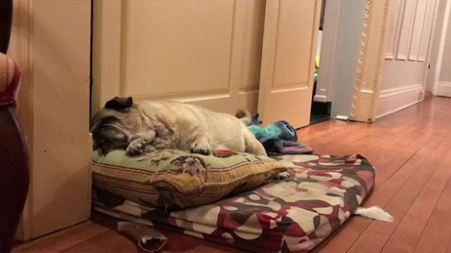 Family's Old Pug Is Blind, So They Always Wake Him Up In A Sweet Way