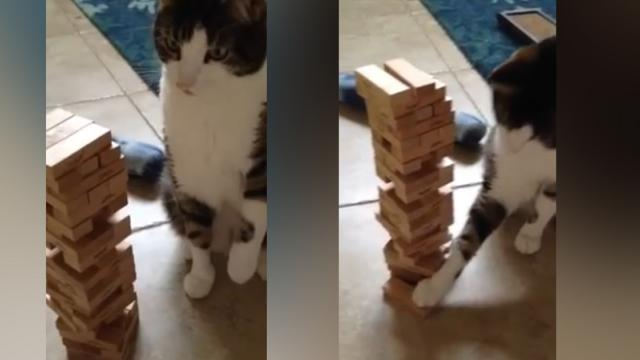 Friday Funny Cat Plays Jenga Better Than Owner
