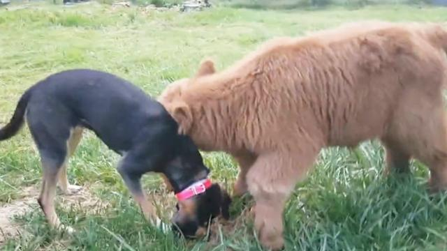 Adorable highland calf rejected by herd saved by couple who raised it indoors