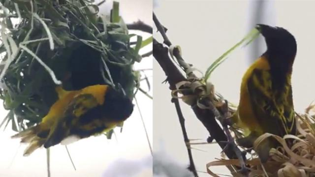 Fascinating footage of weaver birds building exquisite love nest