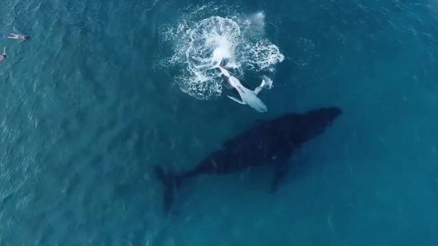Baby Whale Sneaks Away From Giant Sleeping Mom To Lift Stunned Diver Onto Its Belly_Medium