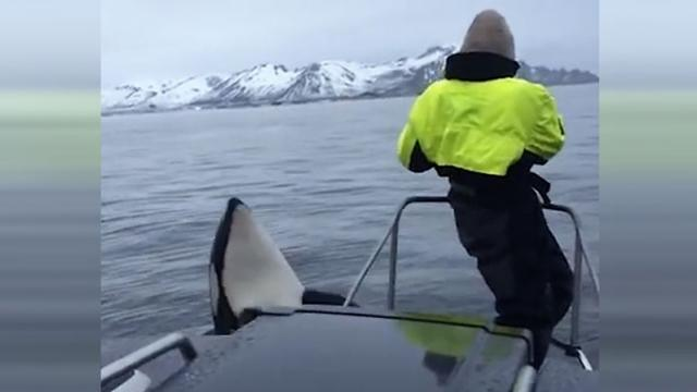 Orcas Dance Around Whistling Researcher Richard -InspireMore