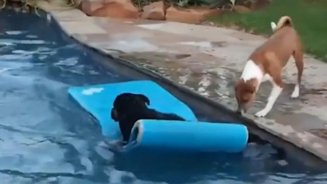 Guy Lies On Diving Board As Dogs Watch In Awe, But Just Wait For The Golden Retriever's Next Move