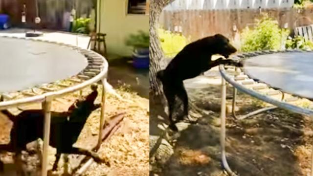 Dog Keeps Himself Entertained Using Hysterical Technique