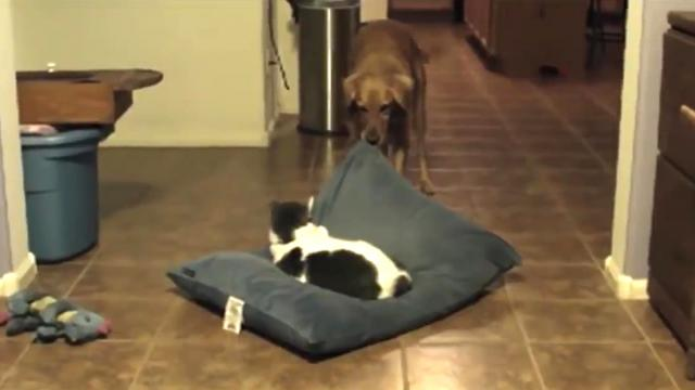 Jerk Cats Stealing Dog Beds