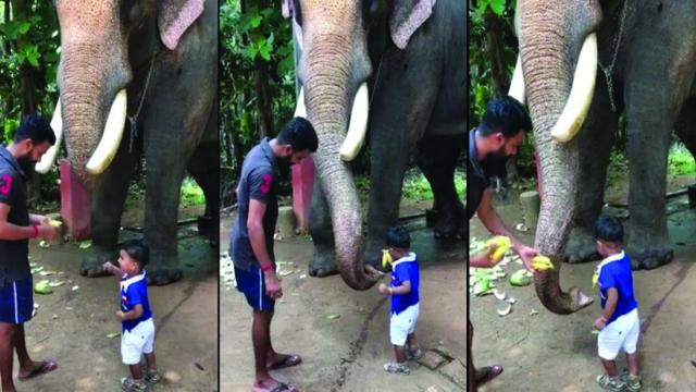 Celebrity elephant is gentle giant as he lets toddler feed him_Large