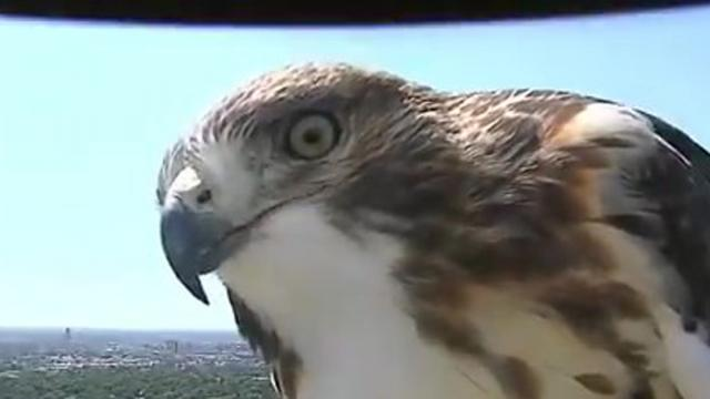 Curious hawk checks out weather cam in Lincoln, NE_Large