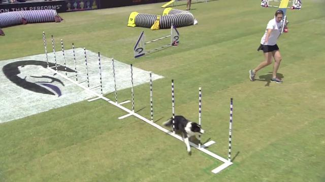 Small Agility Winner - 2017 Purina Pro Plan Incredible Dog Challenge Western Regionals