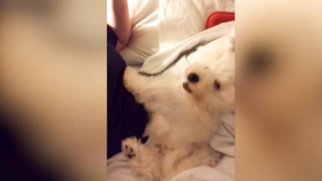 Playful Bichon Frise loves playing with hairdryer