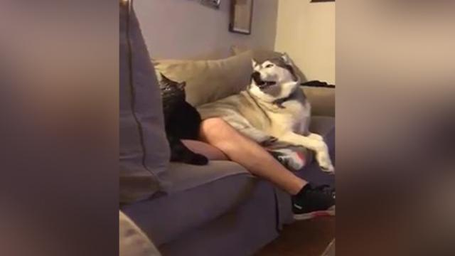 Jealous Husky Throws Epic Tantrum When His Owner Pets A Cat