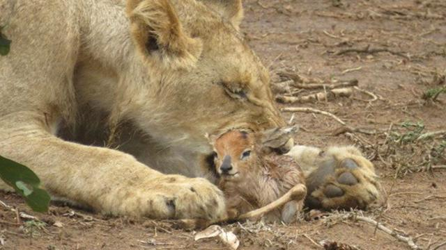 Tourists see lioness carrying 'something strange' in
